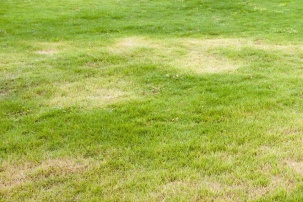 Pale lawn illustrating nutrient issues.